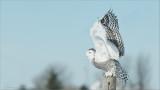 Snowy Owl Lift Off