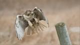 Red-tailed Hawk Landing