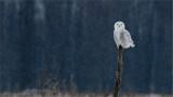 Snowy Owl re-edit