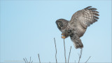 Great Gray Owl Incoming