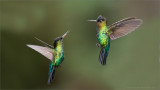 Firery throated Hummingbirds in Flight