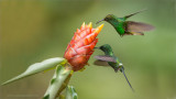 Coppery-headed Emerald and Green Thorntail hummingbirds
