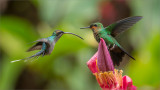 Green Hermit and Green-crowned Brilliant