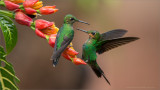 Green-crowned Brilliant Hummingbirds