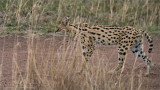 Serval in the Serengeti