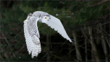 Snowy Owl in Flight   (captive)