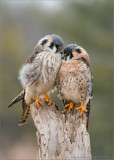 Kestrel Pair - Male and Female