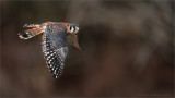 Kestrel in Flight  (captive)
