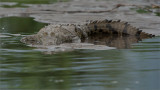 Crocodile in Costa Rica