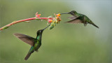 Magnificent Hummingbirds in Flight