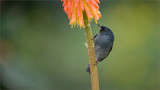 Slaty flowerpiercer  (Thanks Ann!)