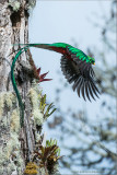 Resplendent Quetzal in Flight
