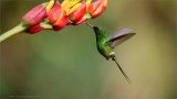 Green Thorntail in Flight