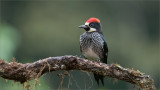 Acorn Woodpecker in some Rain!