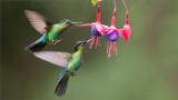 Fiery-throated Hummingbirds in Flight