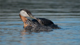 Red-neacked Grebe Family
