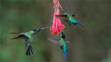 Fiery-throated / Magnificent Hummingbirds in Flight
