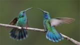 Green Violetear Duel