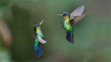 Fiery-throated Hummingbirds in Battle