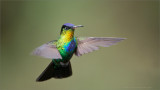 Fiery-throated Hummingbird in Flight