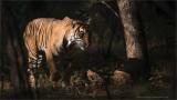 Bengal Tiger at Ranthambore National Park