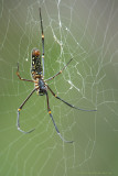 Giant Wood Spider