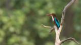 White-necked Kingfisher