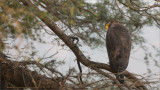 Crested serpent eagle in Ranthambhore - India