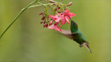 Coppery headed Hummingbird