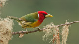 Red-headed Barbet  (Costa Rica)