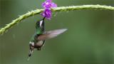 Female Green Thorntail