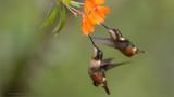 Female Woodstar Hummingbirds