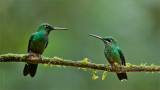 Green-crowned Brilliants Male and Female