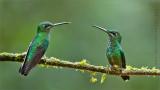 2 Green Crowned Brilliants in Ecuador