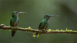 Green Crowned Brilliant Hummingbirds