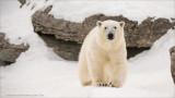 Polar Bear (captive)