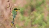 Little Bee Eater in Tanzania