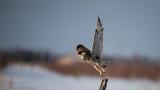 Short-eared Owl Lift Off