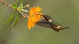 Woodstar Hummingbird