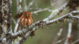 Costa Rican Pygmy Owl Male