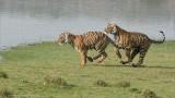 Tigers on the Run - 2