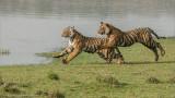 Tigers on the Run 3