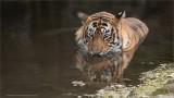 Tiger in for a Swim!