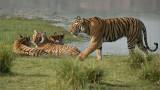 4 Royal Bengal Tigers