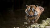 Royal Bengal Tiger (re-edit)