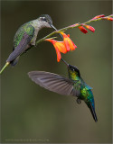 Fiery-throated and Magnificent Hummingbirds Feeding