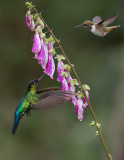 Fiery-throated and Volcano Hummingbirds in Flight
