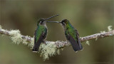 Female Magnificent Hummingbirds