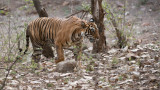 Royal Bengal Tiger - Noor T39
