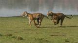 Tiger Siblings on the Run